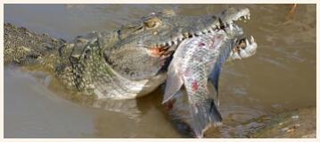 The crocodile is a predator